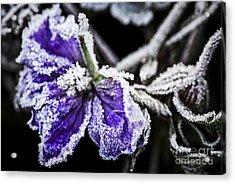 Frosty Purple Flower In Late Fall Acrylic Print by Elena Elisseeva