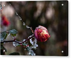 Froze Rose Acrylic Print by Mark Alder