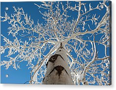 Frozen Bare Tree In Winter Against Blue Acrylic Print by Pete Mcbride