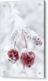 Frozen Crab Apples On Icy Branch Acrylic Print by Elena Elisseeva