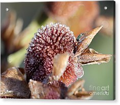 Frozen Dew Drops Melt From Canna Lily Seed Pods Acrylic Print by J McCombie