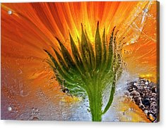 Frozen Marigold Acrylic Print by Secundino Losada