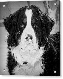 Frozen Nose Acrylic Print by Barbara Dudley