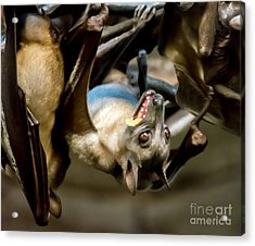 Fruit Bat Fedding Time Acrylic Print