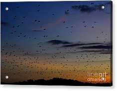 Fruit Bats, Indonesia Acrylic Print by Manfred Bail