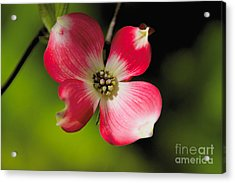 Fruit Tree Flower Acrylic Print