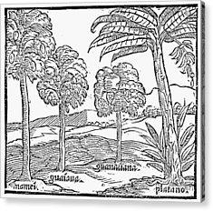 Fruit Trees Of Hispaniola Acrylic Print by Granger