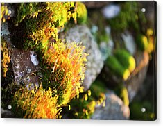 Fruiting Bodies On Moss Acrylic Print by Ashley Cooper