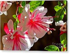Fuchsia Acrylic Print by Adria Trail