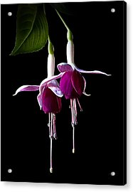 Acrylic Print featuring the photograph Fuchsias by Endre Balogh