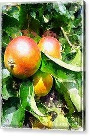 Fugly Manor Apples Acrylic Print
