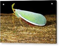 Fulgorid Bug Acrylic Print by Dr Morley Read