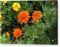 Full Bloom Acrylic Print by Honour Hall