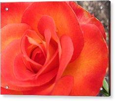 Full Bloom Acrylic Print by Rose Clark