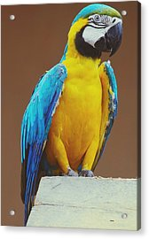 Full Length Of Blue And Yellow Macaw Acrylic Print by Hans Dyckerhoff / Eyeem