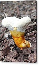 Fungus Funnel Acrylic Print by Sarah E Kohara