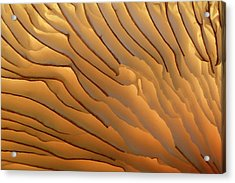 Fungus Gills Abstract Acrylic Print by Nigel Downer/science Photo Library