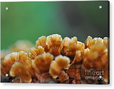 Fungus Growing On Log Acrylic Print by Dan Friend