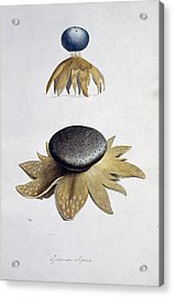 Fungus (lycoperdon Coliforme) Acrylic Print by Science Photo Library