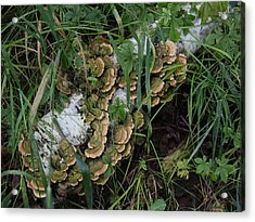 Fungus On The Birch Log Acrylic Print