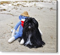 Funky Monkey And Sweet Shih Tzu Acrylic Print by Al Powell Photography USA