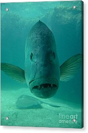 Funny Fish Face Acrylic Print by Amy Cicconi