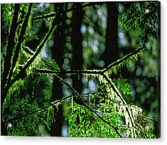 Furry Branches Acrylic Print by Kim Lessel
