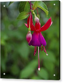 Fuschia Flower Acrylic Print by Ron White