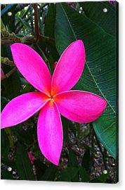 Fuschia Plumeria Bloom Acrylic Print