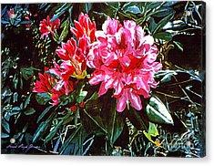 Fuschia Rhododendrons Acrylic Print by David Lloyd Glover