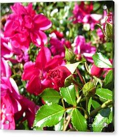Fuschia Roses Acrylic Print