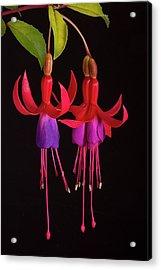 Fused Fuchsia Flower Acrylic Print by Sheila Terry