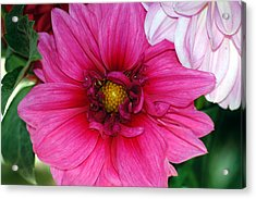 Acrylic Print featuring the photograph Fushia Pink Dahlia by Lehua Pekelo-Stearns