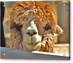 Fuzzy Wuzzy Alpaca Acrylic Print