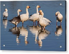 Gaggle Of Snow Geese Reflected Acrylic Print