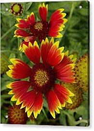 Acrylic Print featuring the photograph Gaillardia / Flowers by James C Thomas