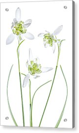Galanthus Flore Pleno Acrylic Print by Mandy Disher