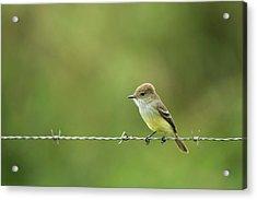 Galapagos Flycatcher (myiarchus Acrylic Print