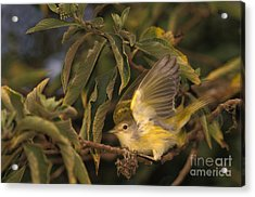 Galapagos Flycatcher Acrylic Print by Ron Sanford