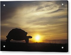 Galapagos Giant Tortoise At Sunrise Acrylic Print
