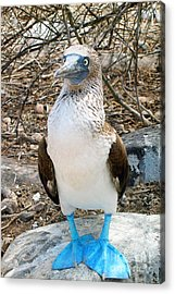 Galapagos Island Blue Footed Booby Bird 1 Acrylic Print by Eva Kaufman