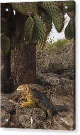Galapagos Land Iguana South Plaza Acrylic Print