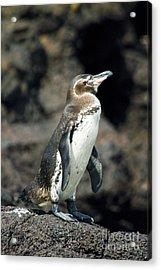 Galapagos Penguin Acrylic Print