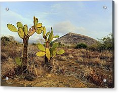 Galapagos Prickly Pear (opuntia Echios) Acrylic Print by Science Photo Library