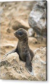Galapagos Sea Lion Pup Champion Islet Acrylic Print by Tui De Roy