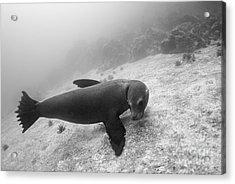 Galapagos Sea Lion Underwater Acrylic Print by Sami Sarkis
