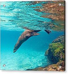 Galapagos Sea Lion Zalophus Wollebaeki Acrylic Print by Panoramic Images