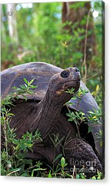 Galapagos Tortoise Acrylic Print by Mark Newman