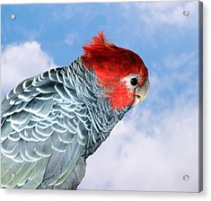 Acrylic Print featuring the photograph Gang Gang Cockatoo by David Rich