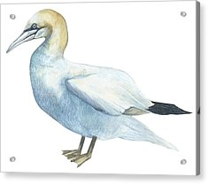 Gannet  Acrylic Print by Anonymous